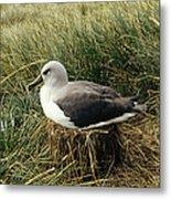Grey-headed Albatross Nesting Chile Metal Print