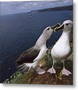Grey-headed Albatrosses At Nest Site Metal Print