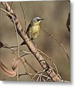 Grey- Headed Honeyeater Metal Print