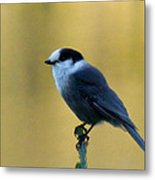 Grey Jay  Metal Print