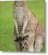 Grey Kangaroo And Joey  Metal Print