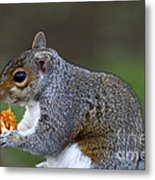 Grey Squirrel Tucking In Metal Print