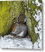 Grey Squirrel With Its Food Store Metal Print