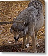 Grey Wolf   #2637-signed Metal Print