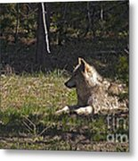 Grey Wolf   #3273-signed Metal Print