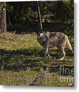 Grey Wolf   #3315 Metal Print