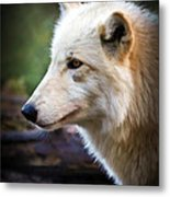 Grey Wolf Painting Metal Print