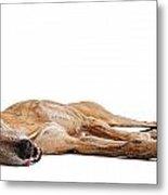 Greyhound Dog Laying Down Metal Print by Susan Schmitz