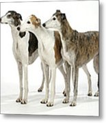 Greyhound Dogs Metal Print