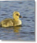 Greylag Goose Gosling Zeeland Metal Print
