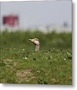 Greylag Goose Sticks Its Head Above The Dike Metal Print