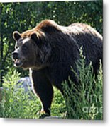 Grizzly-7756 Metal Print