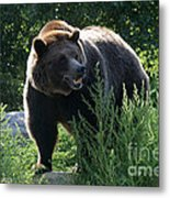 Grizzly-7759 Metal Print