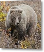 Grizzly Amongst Fall Foliage In Denali Metal Print