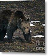 Grizzly Bear  #2510 Metal Print