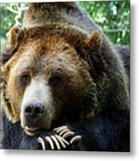 Grizzly Bear At Rest In Colorado Wildneress Metal Print