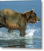 Grizzly Bear Chasing Fish Metal Print