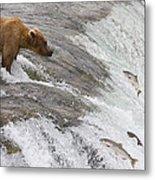 Grizzly Bear Fishing For Sockeye Salmon Metal Print