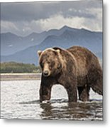Grizzly Bear In River Katmai Np Alaska Metal Print