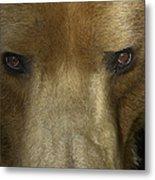 Grizzly Bear Portrait Metal Print