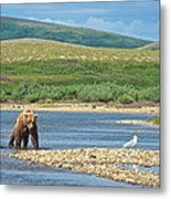 Grizzly Bear Stalking A Gull In The Moraine River In Katmai National Preserve-alaska Metal Print