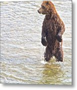 Grizzly Bear Standing To Get A Better Look In The Moraine River In Katmai Metal Print