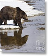 Grizzly Bear Stepping Into Water Metal Print by Mike Cavaroc