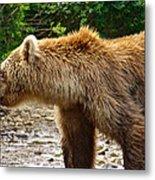 Grizzly Bear Very Close In Moraine River In Katmai National Preserve-ak Metal Print