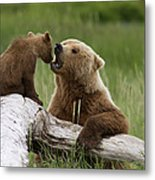 Grizzly Bear With Cub Playing Metal Print