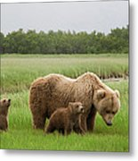Grizzly Bear With Spring Cubs Metal Print