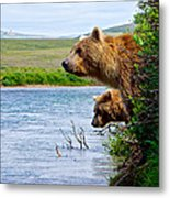 Grizzly Bears Peering Out Over Moraine River From Their Safe Island Metal Print