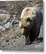 Grizzly By The Road Metal Print