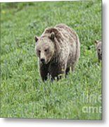 Grizzly Family On Dunraven Metal Print