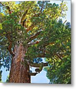 Grizzly Giant Sequoia Top In Mariposa Grove In Yosemite National Park-california    Metal Print