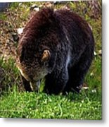 Grizzly Grazing Metal Print
