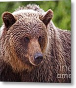 Grizzly Portrait Metal Print