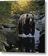 Grizzly Reflection Metal Print