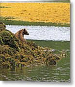 Grizzly Relaxing Metal Print