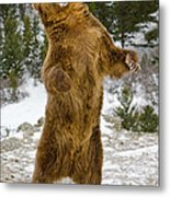 Grizzly Standing Metal Print