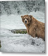 Grizzly Stare Metal Print