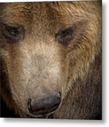 Grizzly Upclose Metal Print