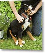 Grooming Bernese Mountain Puppy Metal Print