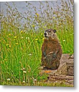 Groundhog At Point Amour In Labrador Metal Print