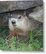 Groundhog Hiding In His Cave Metal Print