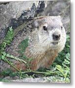 Groundhog Making Sure It Is Safe Metal Print by John Telfer