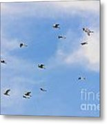 Group Of Egrets Flying Metal Print