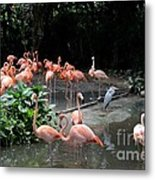 Group Of Flamingos And Lone Heron In Water Metal Print