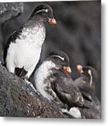 Group Of Parakeet Auklets, St. Paul Metal Print