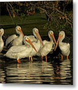 Group Of White Pelicans Metal Print