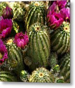 Grouping Of Cactus With Pink Flowers Metal Print